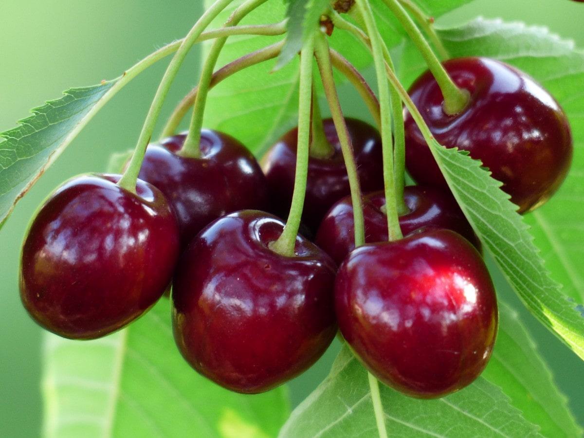 7 مورد از خواص و فواید میوه گیلاس