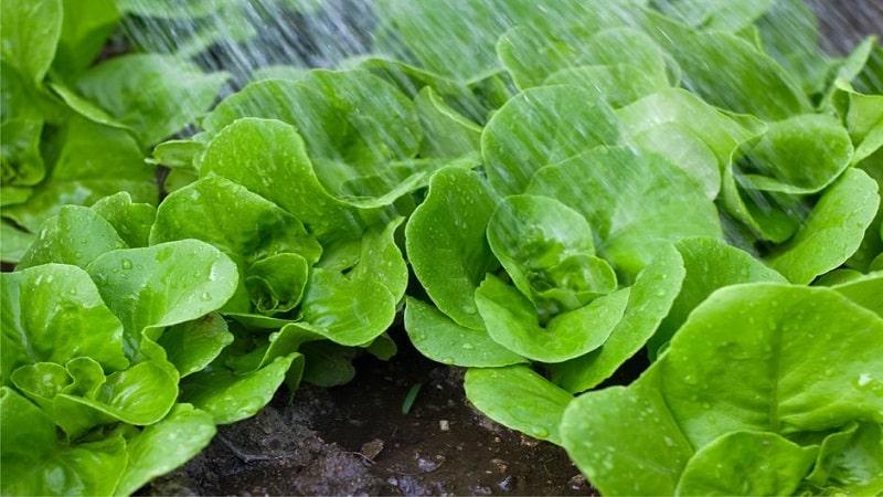 ضد عفونی کردن سبزی ها