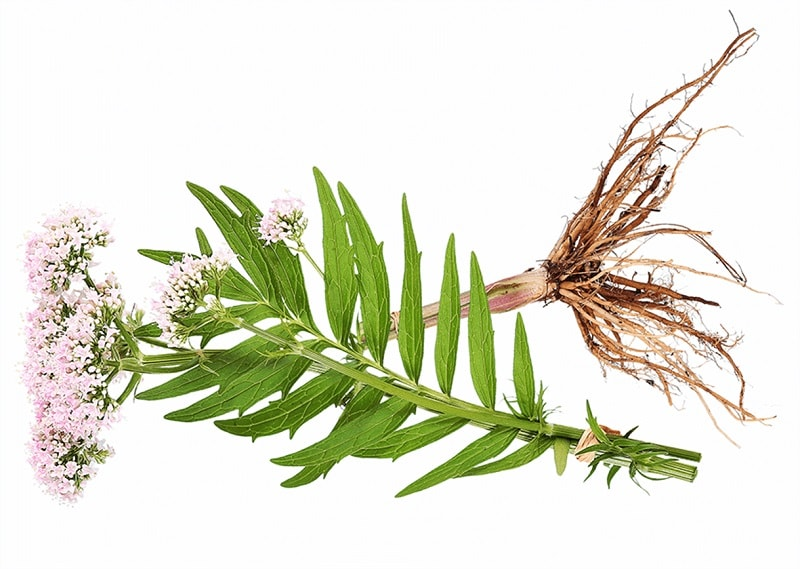 خواص درمانی گیاه سنبل الطیب